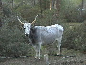 Una vacca Maremmana nella tenuta regionale del Parco dell'Uccellina.